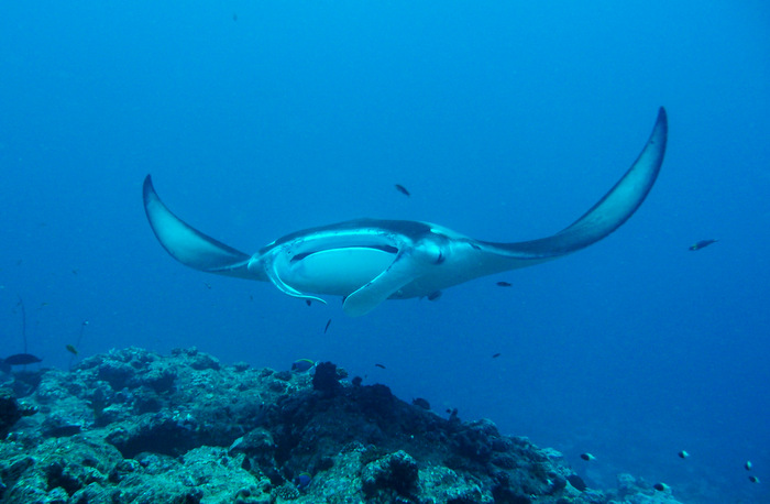 Milaidhoo Maldives invites guests to swim with manta rays