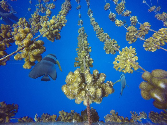 Velaa Private Island's coral restoration project achieves milestone with 1K coral transplants