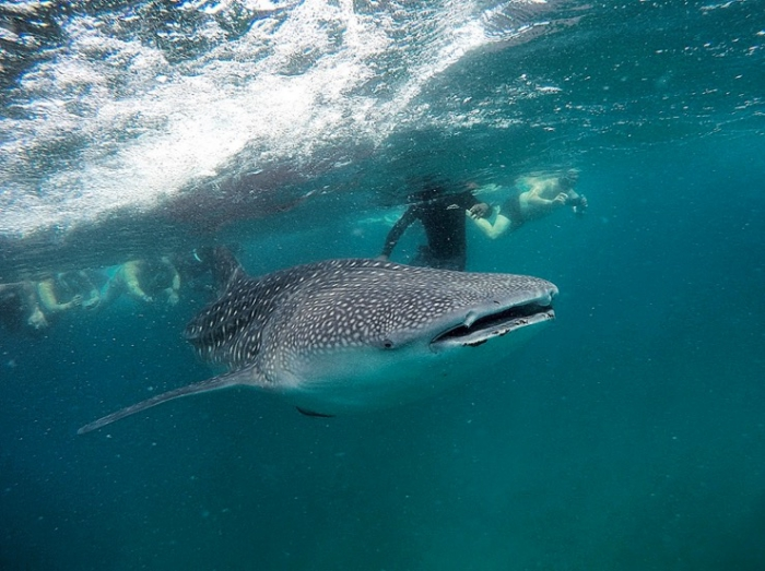 South Ari Atoll: One of the best places to see whale sharks